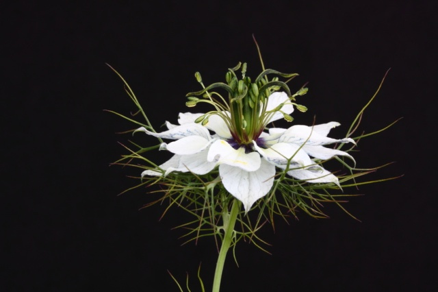 A pale Nigella flower